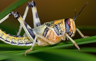Desert Locust in gregarious form on large green leaf