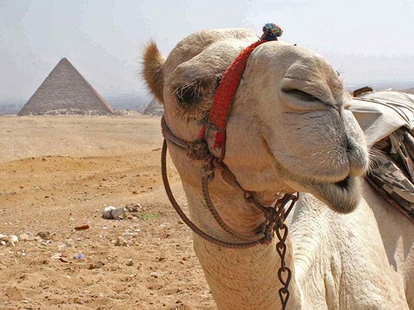 A loaded camel in the desert