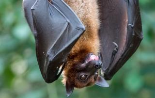 Fruitbat hanging upside down