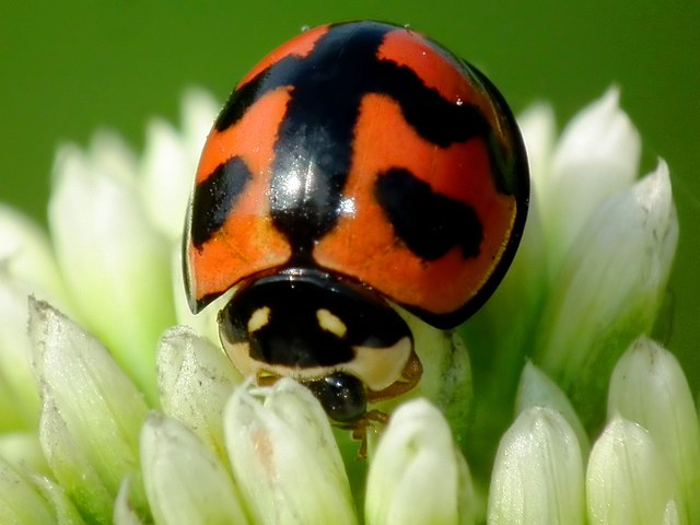 Ladybird feeding on a flower